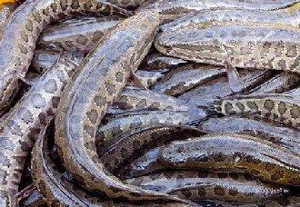 黑鱼装芯片,让每条鱼都能追根溯源