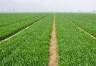 我国山东2019年小麦播种面积将继续保持在6000万亩以上