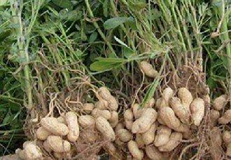 山东莒南多个举措促进花生产业发展 增加花生产量以及产值