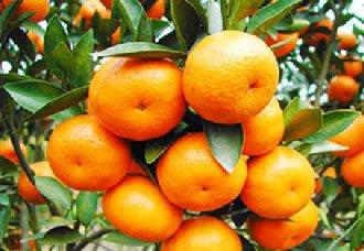 广西百色柑橘开拓 加快农产品产业结构升级