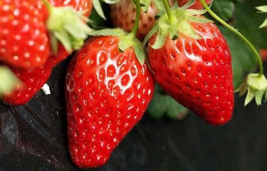 新鲜草莓挂满田垄,日子过的越来越红火