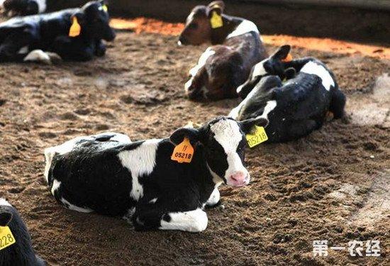 犊牛养殖注意事项:要养好犊牛一定要做好这几点