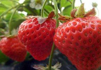 """<b>美国把草莓评为""""最脏水果""""</b>"""