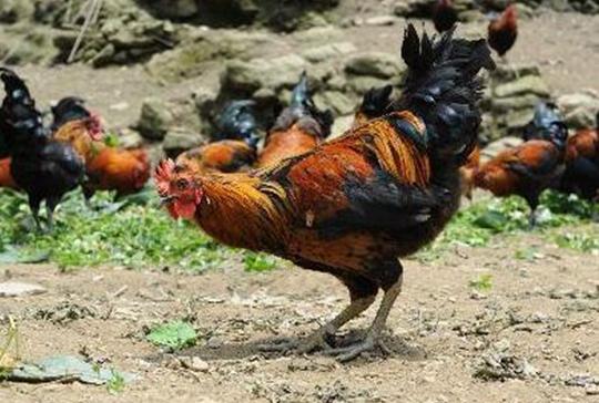 藏香鸡养殖成稻城贫困户增收脱贫的助推器