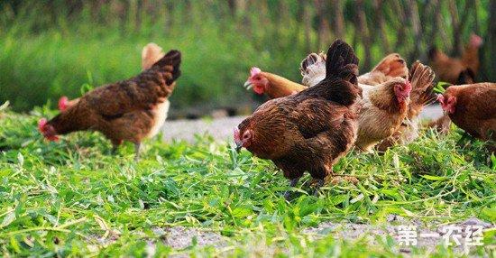 散养鸡常见的三种寄生虫疾病及防治方法