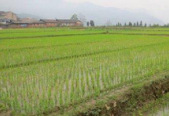 云南曲靖麒麟计划今年大春粮食作物种植面积29万亩