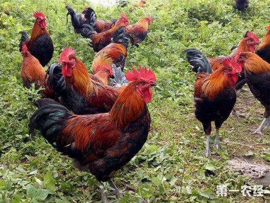 梨园养鸡双份收入,让他走上脱贫致富的道路