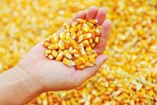 注意!2019年这些玉米品种的种子千万别买!