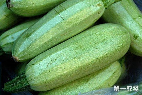 菜瓜种植管理注意事项:怎么种菜瓜才能高产