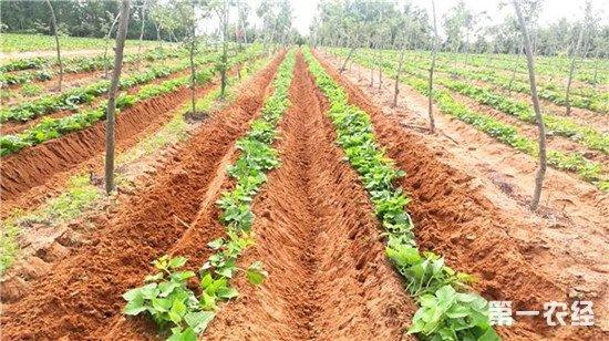红薯怎么施肥才能高产?红薯施肥的四个方法