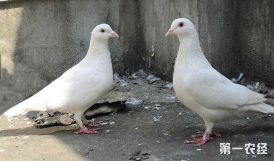 新手养殖肉鸽的三个注意事项 养殖技术 第一农经网