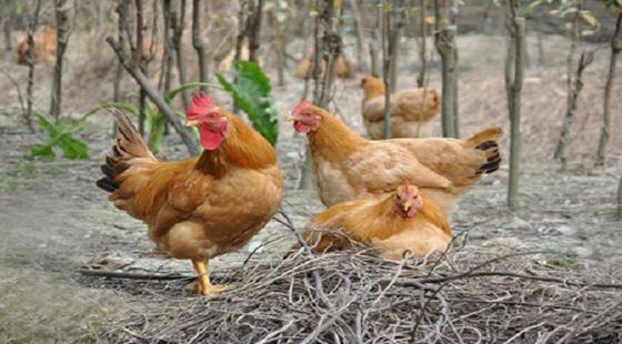 要怎么提高土鸡的产蛋率?以下四个方法要记住