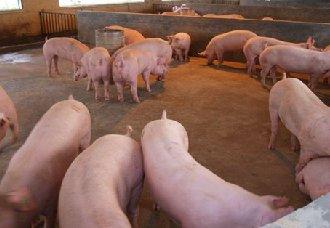 猪场消毒常见的误区和注意事项