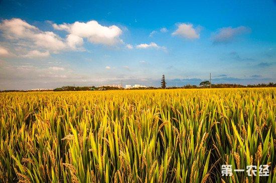 2019年稻谷最低收购价为何未下调?