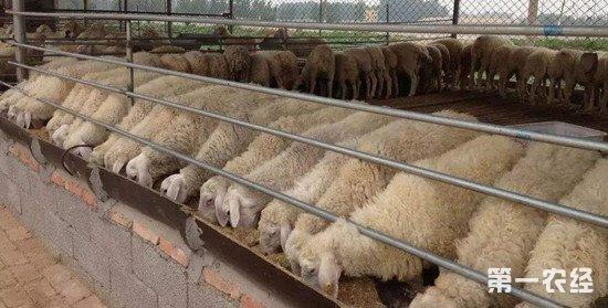 羊为什么喜欢吃盐?给羊喂盐的三个方法