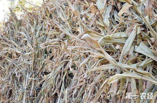 盐化玉米秸秆对羊的好处及制作饲喂方法