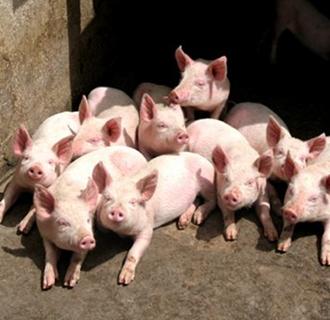 春季猪舍要怎么管理?春季猪舍的管理要点