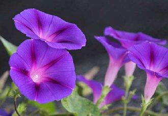 牵牛花都有哪些品种?牵牛花的品种介绍与种植方法
