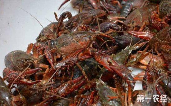南京水产市场:小龙虾悄然上市 七八十元一斤