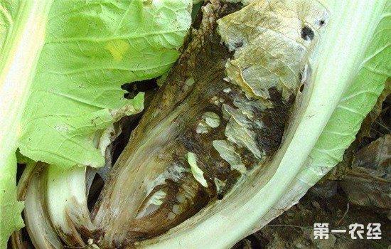 大白菜菌核病有哪些症状?如何进行防治