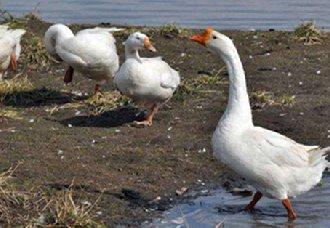 鹅感冒了怎么办?鹅感冒的症状与防治方法