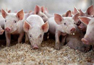 无法治愈没有疫苗,面对非洲猪瘟养猪户该怎么办?