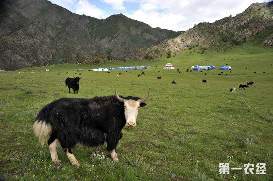 畜牧业:牦牛放牧有技巧,四季各有不同,春冬应这样放牧!