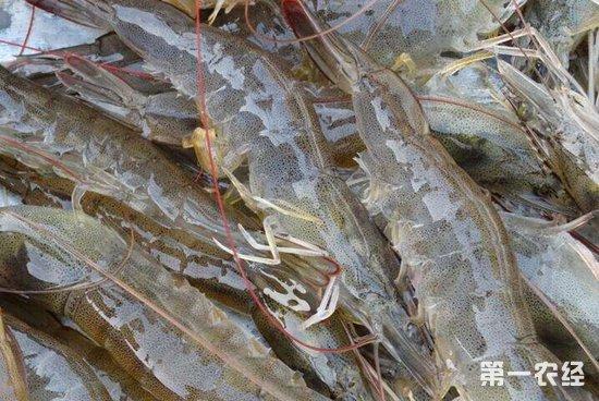 国内各产区白对虾一周市场价格行情分析