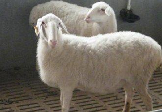 淘汰种羊要怎么育肥?淘汰种羊的育肥技术