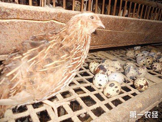 提高鹌鹑产蛋率的饲养管理技术