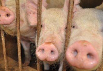 警惕!养猪人卖猪的时候应该注意些什么?