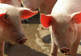 怎么保障怀孕母猪的安全?孕期母猪的正确管理技术