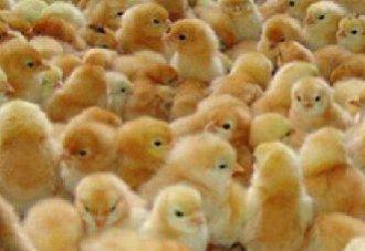 <b>抗禽流感病毒的转基因鸡预计年末孵化</b>
