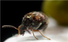 绿豆上长象虫怎么办?绿豆象虫的防治方法