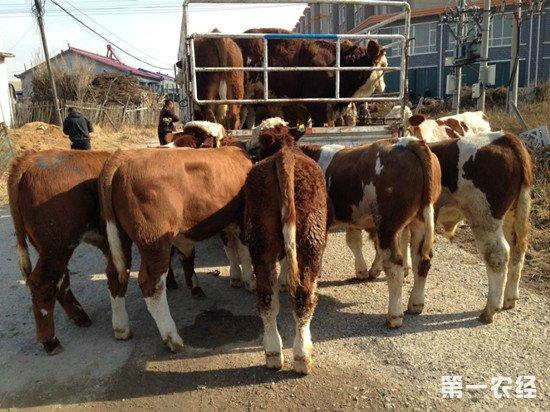 架子牛的选择和引进注意事项