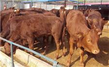 架子牛饲喂技巧:适应期和育肥期要采取不同饲喂方式