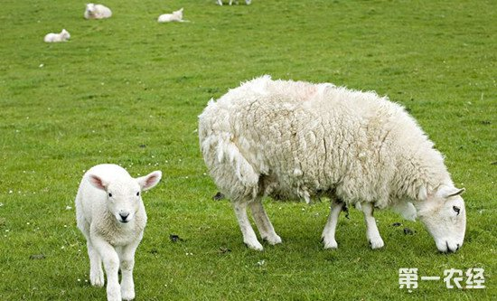 羊蓝舌病的症状有哪些?如何进行防治