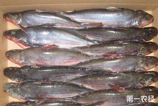 巴沙鱼:中美市场需求疲软,原料价格进一步大跌