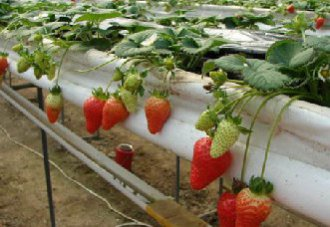 """新技术让草莓""""上架"""",实现增产""""莓""""不胜收"""