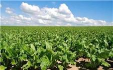 """甜菜种植成张北县重要扶贫产业 让农民过上""""甜蜜生活"""""""