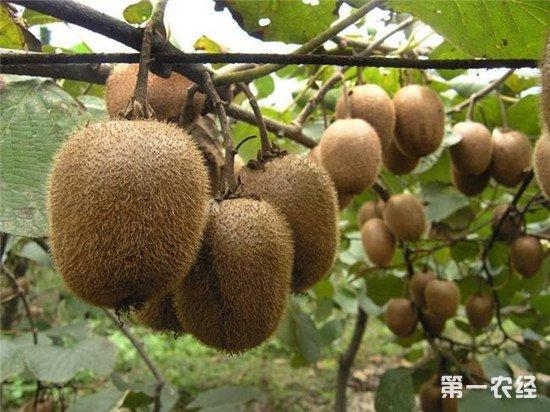 种植猕猴桃如何施肥?猕猴桃的高产施肥方法