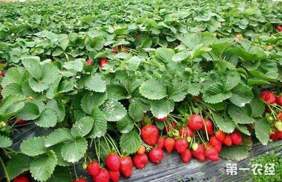 种植草莓时常见的疾病有哪些?如何进行防治