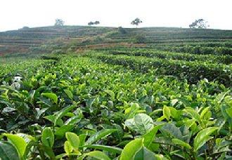 广西凌云已进入繁忙采茶季 多举措壮大茶产业