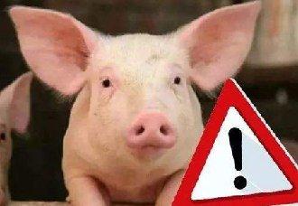 非洲猪瘟后复养猪场的注意事项