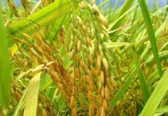 我国科学家开发出新型水稻碱基编辑器
