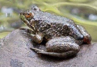 牛蛙腹水病要如何防治?牛蛙腹水病的防治措施
