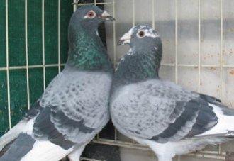 赛鸽体重为什么减轻?赛鸽体重变轻的原因