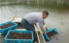 湖北仙桃市启动小龙虾保险补贴 为小龙虾养殖保驾护航