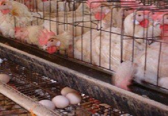 <b>江苏各地鸡蛋价格持续下降 蛋鸡养殖呈亏损状态</b>