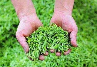 江苏无锡春茶已进行开采 明前高档绿茶产量比往年高